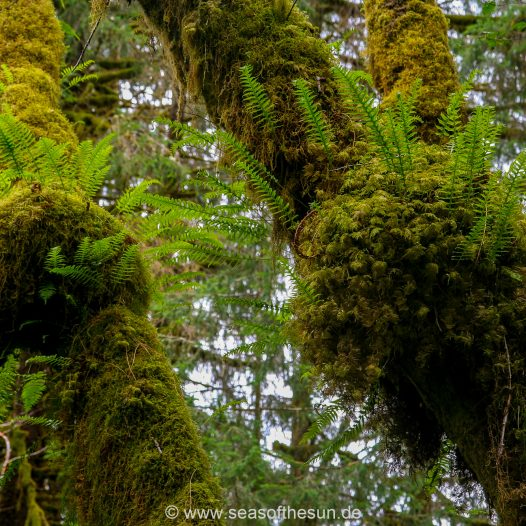 Hoh Rain Forest, Hall of Mosses