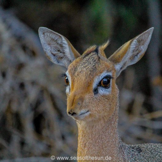Dikdik am Waterberg Restcamp
